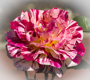 Variegated Rose stock photo