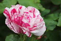 Variegated rose Stock Photography
