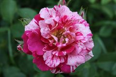 Variegated Rose Petals and evening light 2019 II. Highland Productions LLC Darren Dwayne Frazier These roses are bred for the color mixture. Most plants that are stock image