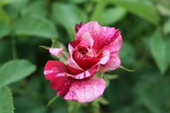 Variegated Rose Petals 2019 I. Highland Productions LLC Darren Dwayne Frazier These roses are bred for the color mixture. Most plants that are like this are a stock images