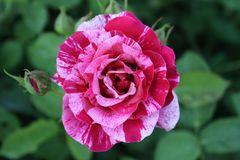 Variegated Rose Petals 2019 II. Highland Productions LLC Darren Dwayne Frazier These roses are bred for the color mixture. Most plants that are like this are a royalty free stock photos