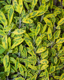 Variegated sage plant leaves herb Royalty Free Stock Photography