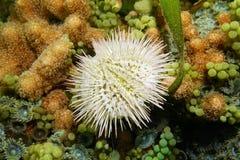 Variegated sea urchin Lytechinus variegatus Stock Photo