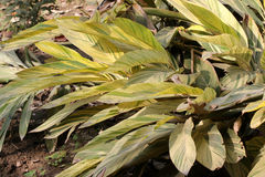 Variegated shell-ginger. Variegated light galangal, variegated shell-ginger, Alpinia zerumbet 'Variegata', ornamental plant with underground rhizome and large stock photo