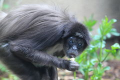 Variegated spider monkey Royalty Free Stock Image