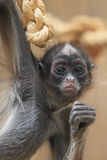 Variegated spider monkey Stock Photos