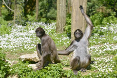 Variegated spider monkeys on grass Royalty Free Stock Photos