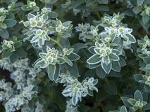 Variegated spurge flowers stock photos
