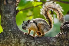 Variegated Squirrel climbing a tree. royalty free stock photography
