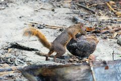 Variegated squirrel with a coconut - Costa Rica Royalty Free Stock Images