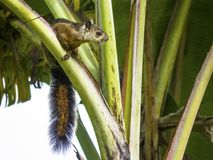 Variegated Squirrel sitting on in Banana Tree stock images