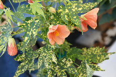 Variegated Thompson's Flowering maple Stock Photo