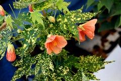 Variegated Thompson's Flowering maple Stock Photo