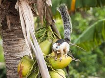 Variegated Tree Squirrel Stand on Coconut royalty free stock photos