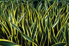 Variegated tropical leaves pattern of snake plant or mother-in-l. Aw`s tongue Sansevieria trifasciata `Laurentii` and aloe succulent plant on dark nature stock photography