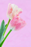 Variegated tulips Stock Images