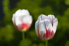Variegated Tulips Royalty Free Stock Image
