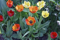 Variegated Tulips in Spring time stock photo