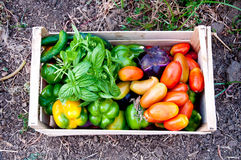 Variegated wooden box with tomatoes and fresh cut vegetables Jus Stock Photo
