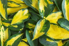 Variegated yellow and green leaves of dwarf umbrella plant Schef. Flera arboricola Stock Photo