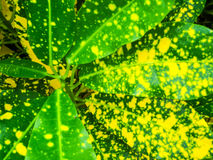 Variegatium Croton, Codiaeum & x28; L & x29; Blume, завод к оформлению в gar Стоковое фото RF
