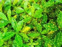 Variegatium del Croton, del Codiaeum y x28; L y x29; Blume, es planta a la decoración en lepisosteus Imagen de archivo