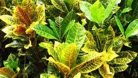 Variegatum del Codiaeum (croton abigarrado, Croton) almacen de video