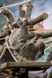 Variegatus Bradypus лени взбираясь - arboreal млекопитающие замеченные для несообразительности движения и для проводить большинст стоковые фотографии rf