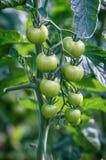 Varietà acerbe del pomodoro ciliegia Fotografia Stock