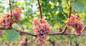 Varietà dell'uva di Gewurztraminer Le origini di gewurztraminer sembrano essere trovate nella regione di Alto Adige di Italia e d immagini stock
