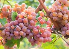 Varietà dell'uva di Gewurztraminer Le origini di gewurztraminer sembrano essere trovate nella regione di Alto Adige di Italia e d fotografia stock
