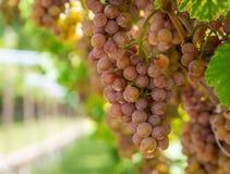 Varietà dell'uva di Gewurztraminer Le origini di gewurztraminer sembrano essere trovate nella regione di Alto Adige di Italia e m immagine stock libera da diritti