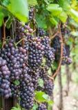 Varietà dell'uva di Pinot Grigio Pinot Grigio è una varietà bianca dell'acino d'uva che è fatta dall'uva con rosso grigiastro e b immagine stock