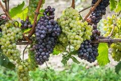 Varietà dell'uva di Pinot Grigio Pinot Grigio è una varietà bianca dell'acino d'uva che è fatta dall'uva con rosso grigiastro e b fotografie stock libere da diritti