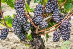 Varietà dell'uva di Pinot Grigio Pinot Grigio è una varietà bianca dell'acino d'uva che è fatta dall'uva con rosso grigiastro e b fotografie stock