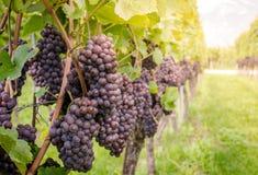 Varietà dell'uva di Pinot Grigio Pinot Grigio è una varietà bianca dell'acino d'uva che è fatta dall'uva con rosso grigiastro e b immagini stock libere da diritti