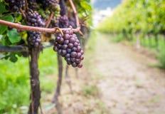 Varietà dell'uva di Pinot Grigio Pinot Grigio è una varietà bianca dell'acino d'uva che è fatta dall'uva con rosso grigiastro e b fotografia stock