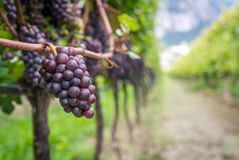 Varietà dell'uva di Pinot Grigio Pinot Grigio è una varietà bianca dell'acino d'uva che è fatta dall'uva con rosso grigiastro e b fotografia stock libera da diritti