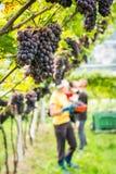 Varietà dell'uva di Pinot Grigio Mazzo maturo di uva durante il raccolto alla vigna del Tirolo/Trentino del sud Alto Adige, Itali fotografia stock libera da diritti