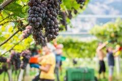 Varietà dell'uva di Pinot Grigio Mazzo maturo di uva durante il raccolto alla vigna del Tirolo/Trentino del sud Alto Adige, Itali immagine stock libera da diritti