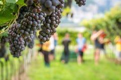 Varietà dell'uva di Pinot Grigio Mazzo maturo di uva durante il raccolto alla vigna del Tirolo/Trentino del sud Alto Adige, Itali fotografia stock