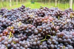 Varietà dell'uva di Pinot Grigio Mazzo maturo di uva durante il raccolto alla vigna del Tirolo/Trentino del sud Alto Adige, Itali immagini stock libere da diritti