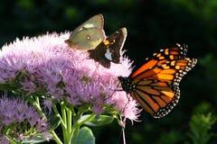 Varietà della farfalla Immagine Stock