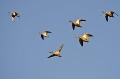 Varietà di anatre che volano in cielo blu Immagine Stock