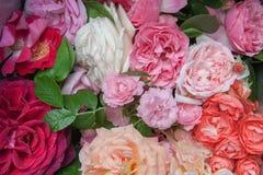 Varietà di belle rose Fotografie Stock