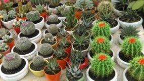 Varietà di cactus in poco vaso Immagine Stock