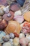 Varietà di conchiglie variopinte Fotografia Stock