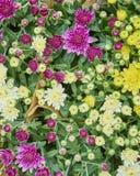 Varietà di crisantemi variopinti Fotografia Stock
