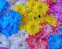Varietà di crisantemi variopinti Immagine Stock Libera da Diritti