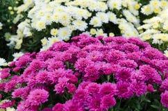Varietà di crisantemo all'aperto Fiori di autunno Fiori in parco Fotografia Stock Libera da Diritti